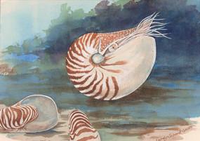 Live Nautilus Shell