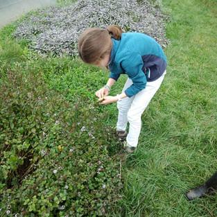 Meise- ceuillettes herbes.jpg