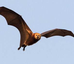 Why Mauritius is culling an endangered fruit bat that exists nowhere else