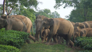 Best Practice for Human-Elephant Conflict in Asia