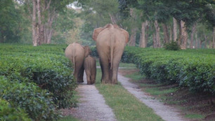 The Assam Haathi Project