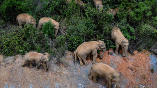 15 Chinese Elephants Are on a Long March North. Why, No One Knows.