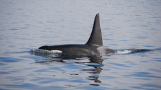 BBC News: Have rogue orcas been attacking boats?