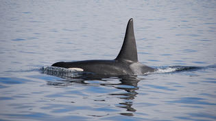 Have rogue orcas really been attacking boats in the Atlantic?