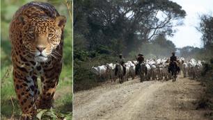 Range-wide study of human-jaguar conflict