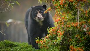 Andean Bears & People