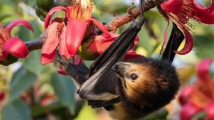 Mauritius fruit bats