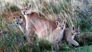 Lights, dogs, action! Patagonia project to keep pumas from preying on sheep