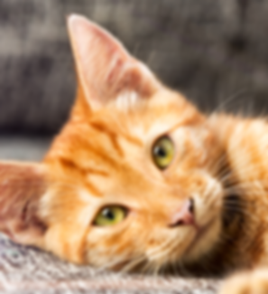 Adopt-a-Cat.png