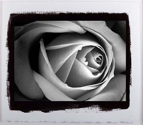 Rose A3 Platinum print