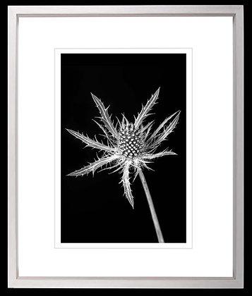 Thistle A4 Platinum print White Black Ash Frame