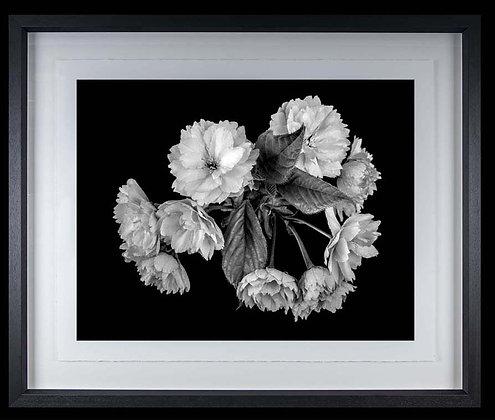 Cherry Blossom A4 inkjet print Black Ash Frame