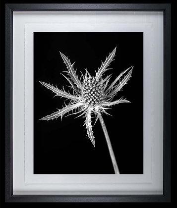 Thistle A4 Platinum print Black Ash Frame