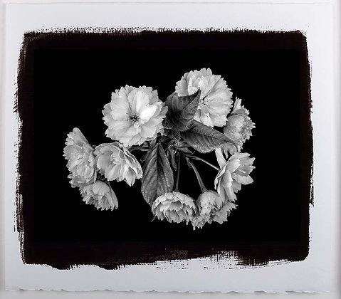 Cherry Blossom A4 Platinum print