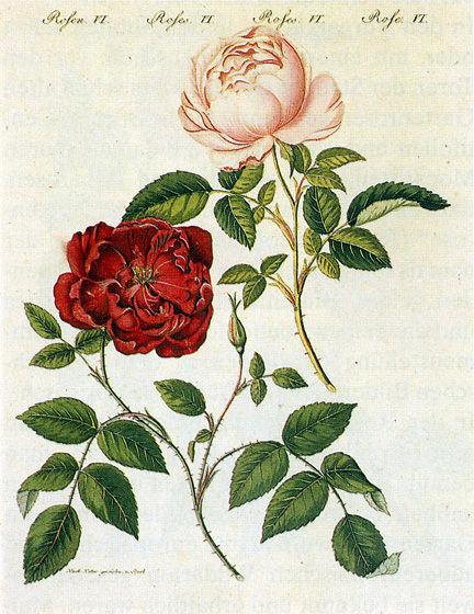 Rosa_chinensis_1795.jpg