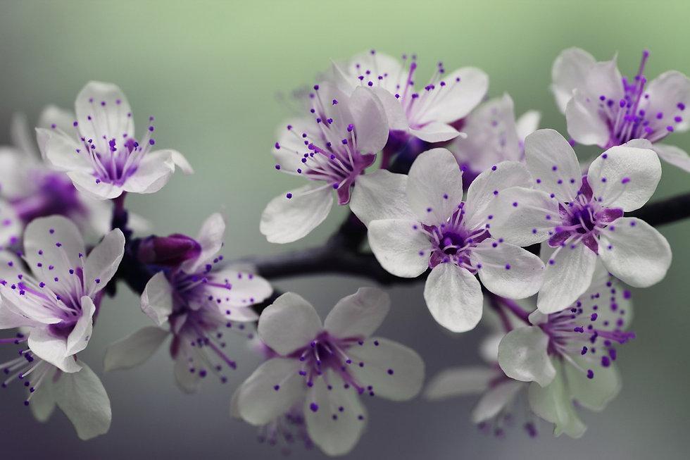 blossom-839594_1280.jpg