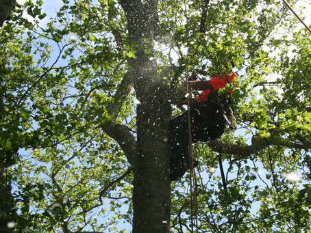 Why topping trees is bad, can cost you money, and be unsafe!