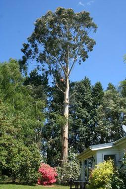 eucalyptus-tree-dismantle-treelands-cambridge.jpg
