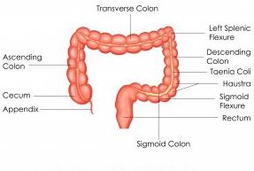 Анальным каналом заканчивается толстая кишка и весь пищеварительный тракт.