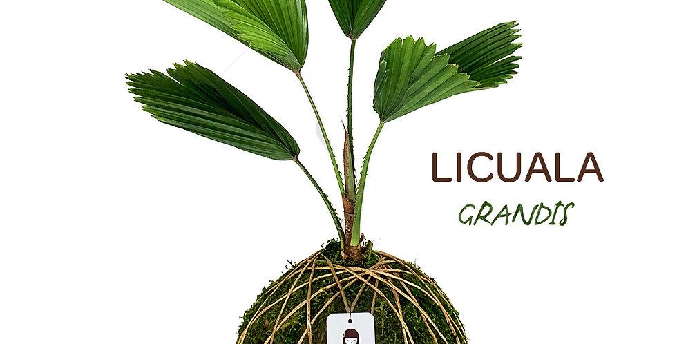 Licuala Grandis
