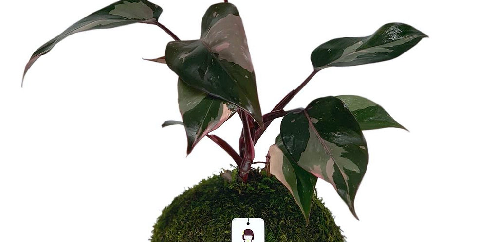 Princess Philodendron Pink