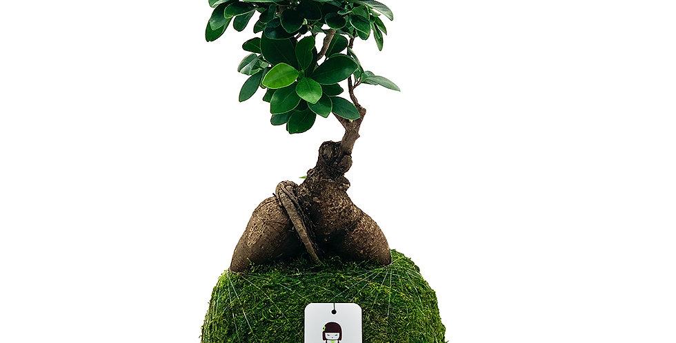 Bonsai Ficus Ginger
