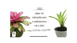 How to transplant a kokedama to a pot
