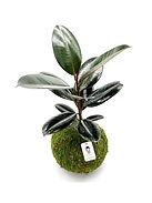 Ficus Burgundy.jpg