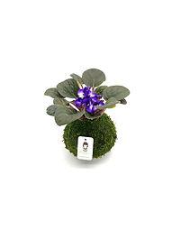 African Violet - Purple-White.jpg
