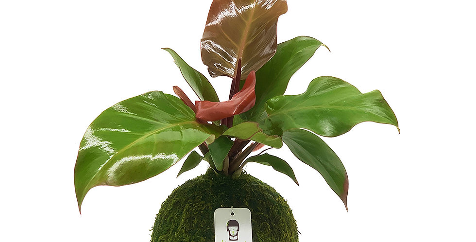 Philodendron McColley
