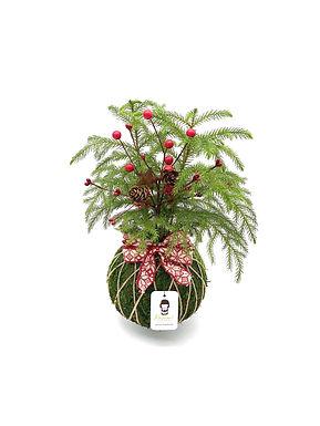 Pine Araucaria