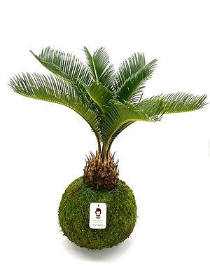 King Sago Palm