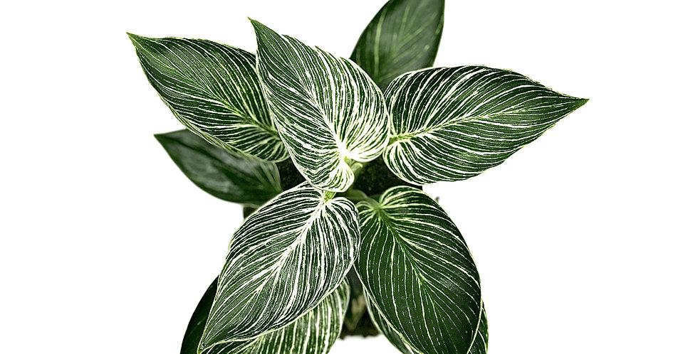 """""""Whitey"""" Philodendron Birkin"""