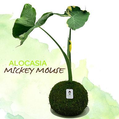 Alocasia