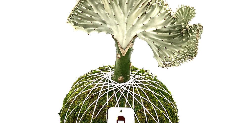 """Cactus Coral 6"""""""