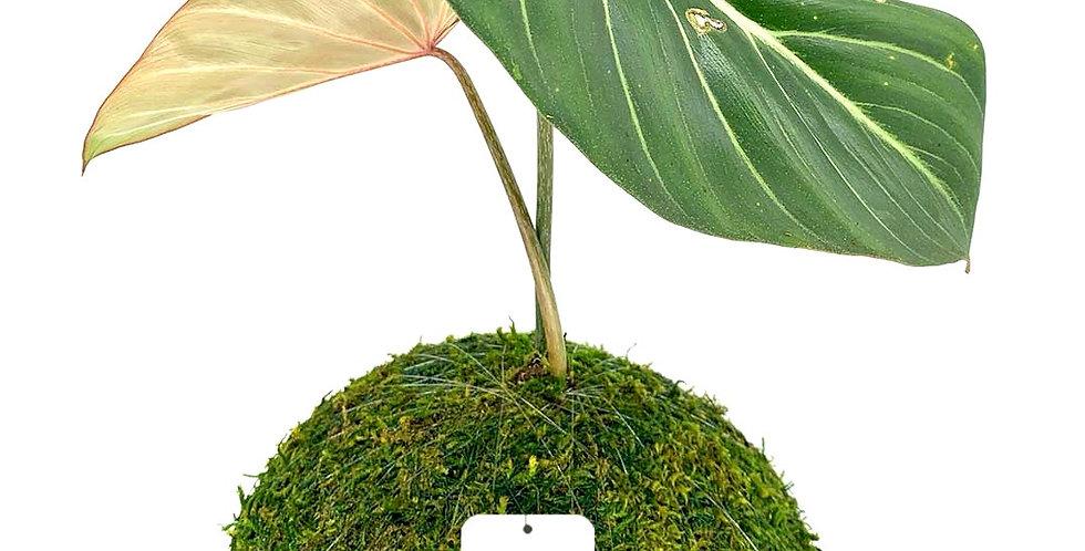 Philodendron Glorosium