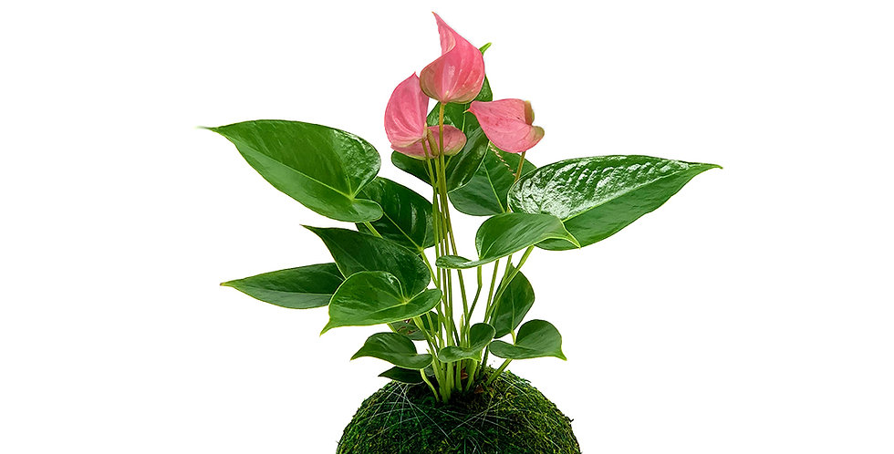 Anthurium Pink - Small