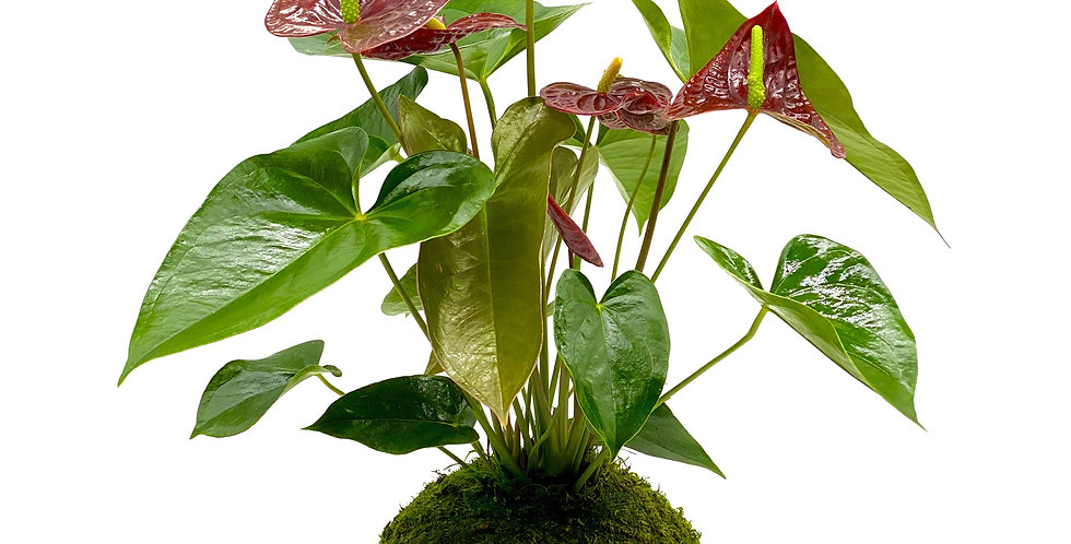 Anthurium Aramon 6""