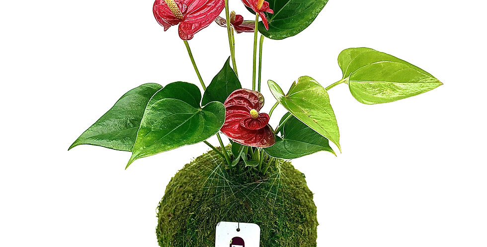 Anthurium Red - Small