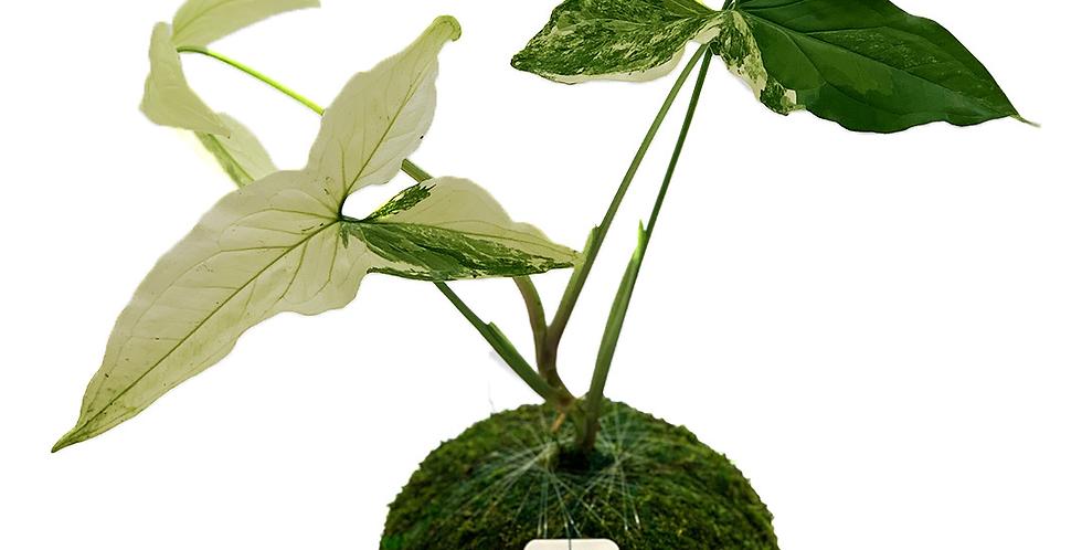 #1 Sygonium Podophyllum Albo Variegated