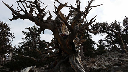 Great Basin Tree.jpg