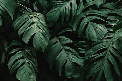 beautiful-green-leaves-monstera-hd-wallp