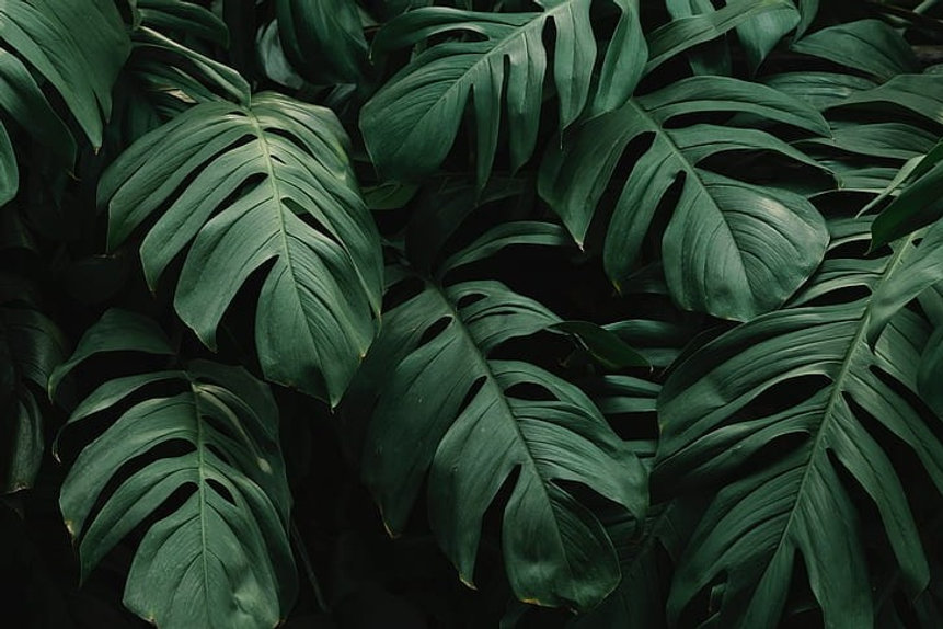 beautiful-green-leaves-monstera-hd-wallp