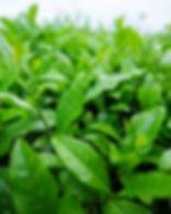 Fresh china tea leaf bush in the rain.