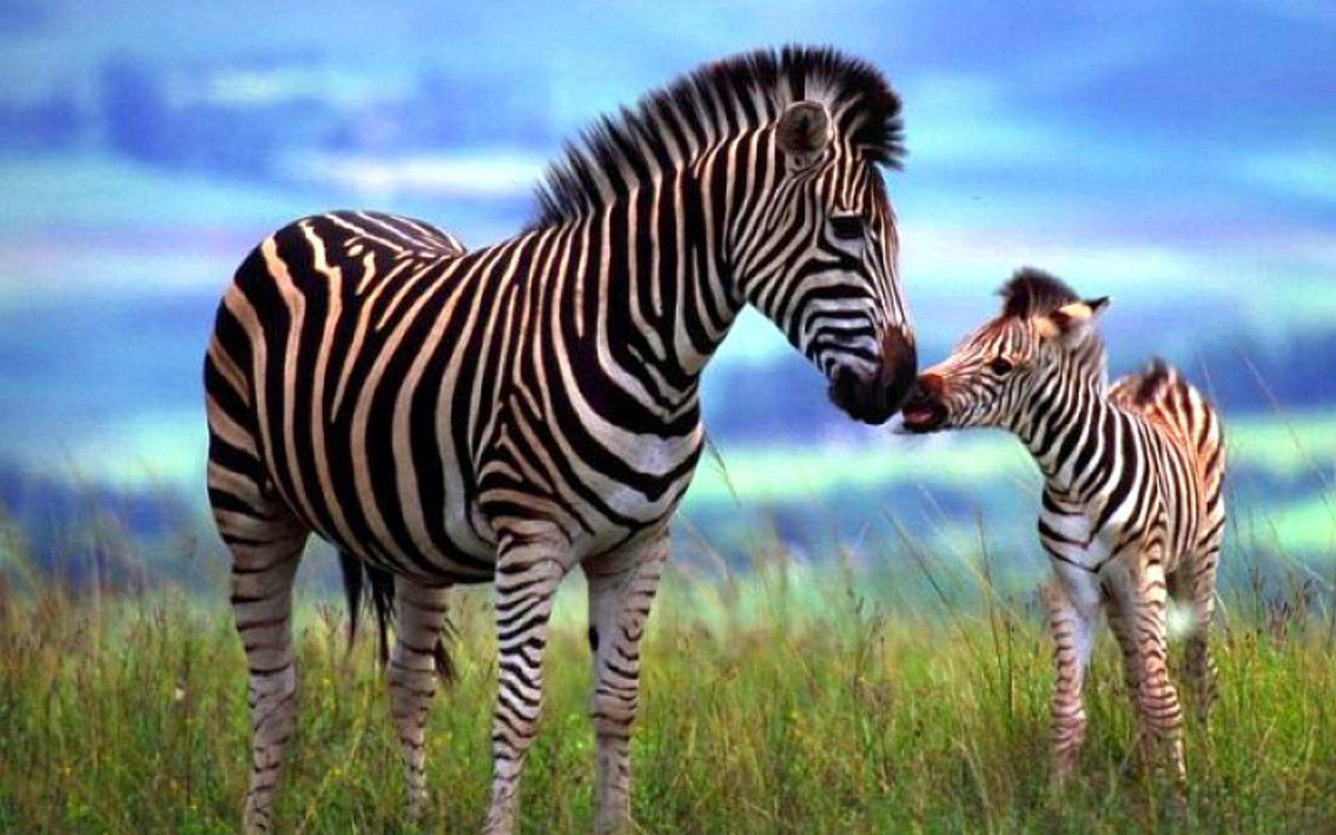 zebra-06