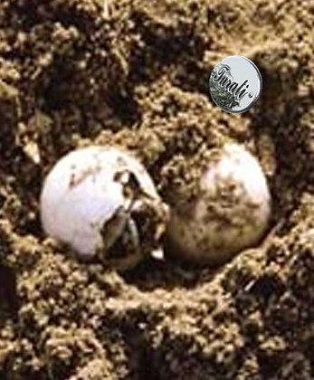 uova di tartaruga di acqua dolce