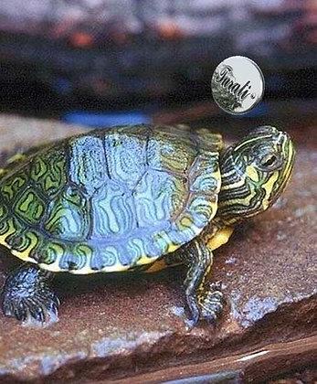 le nostre tartarughe d'acqua dolce