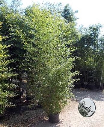 bamboo phyllostachys (Bambù) Aurea