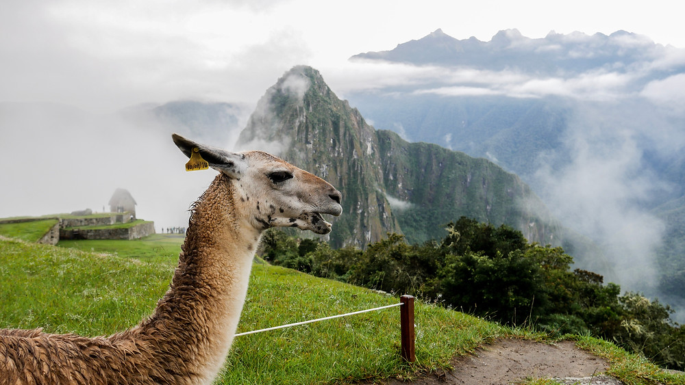 a lama welcoming people in machu picchu peru