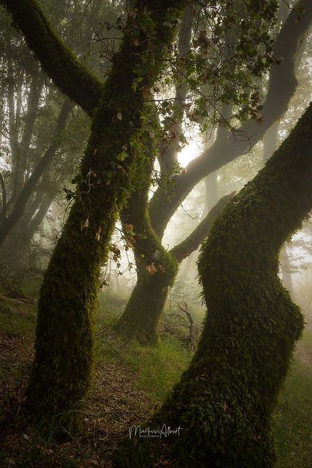 Forest at Mt. Tamalpais.jpg